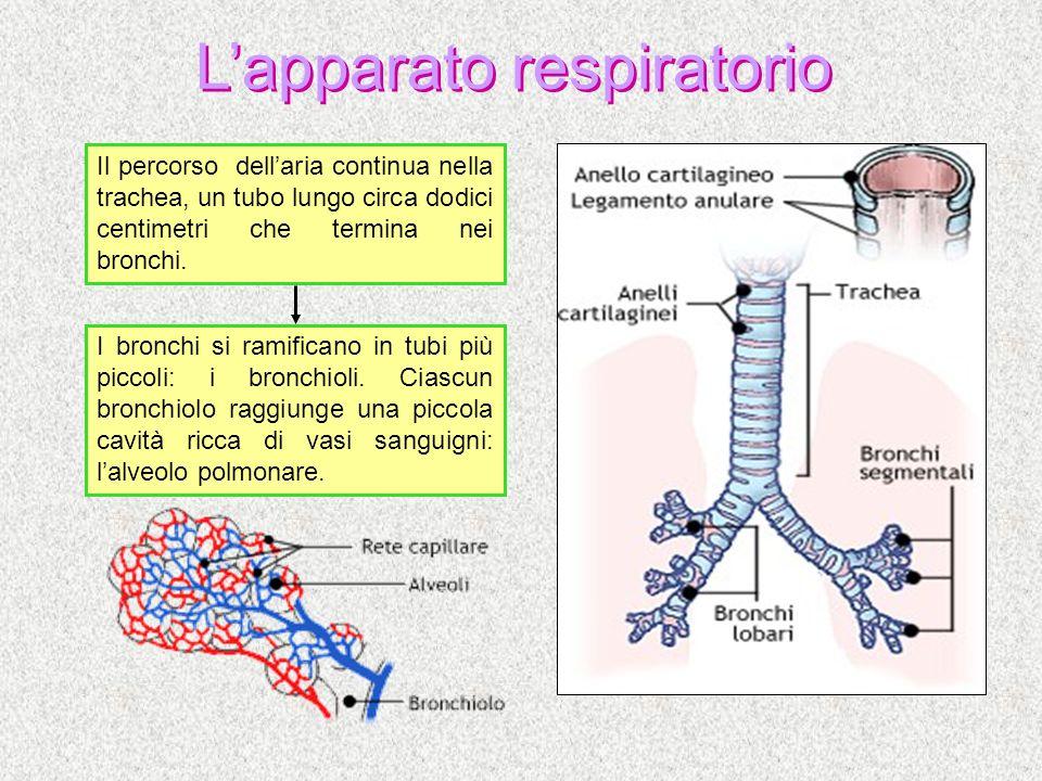 Lapparato respiratorio Il percorso dellaria continua nella trachea, un tubo lungo circa dodici centimetri che termina nei bronchi. I bronchi si ramifi