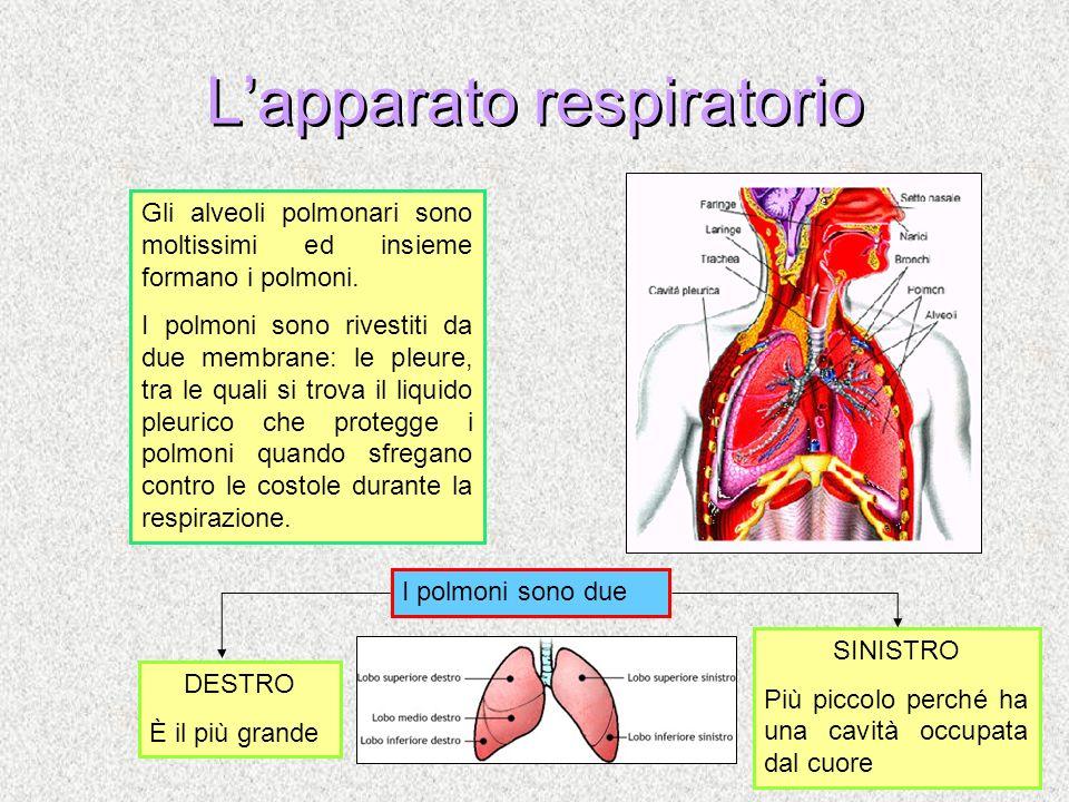 Lapparato respiratorio Gli alveoli polmonari sono moltissimi ed insieme formano i polmoni. I polmoni sono rivestiti da due membrane: le pleure, tra le