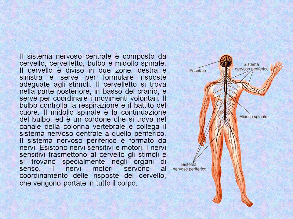 Il sistema nervoso centrale è composto da cervello, cervelletto, bulbo e midollo spinale. Il cervello è diviso in due zone, destra e sinistra e serve