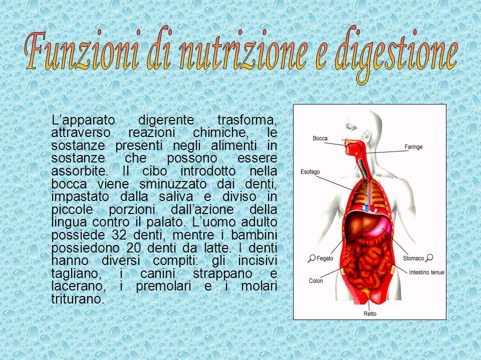 Lapparato digerente trasforma, attraverso reazioni chimiche, le sostanze presenti negli alimenti in sostanze che possono essere assorbite. Il cibo int