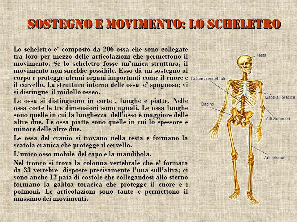 Sostegno e movimento: lo scheletro Lo scheletro e composto da 206 ossa che sono collegate tra loro per mezzo delle articolazioni che permettono il mov