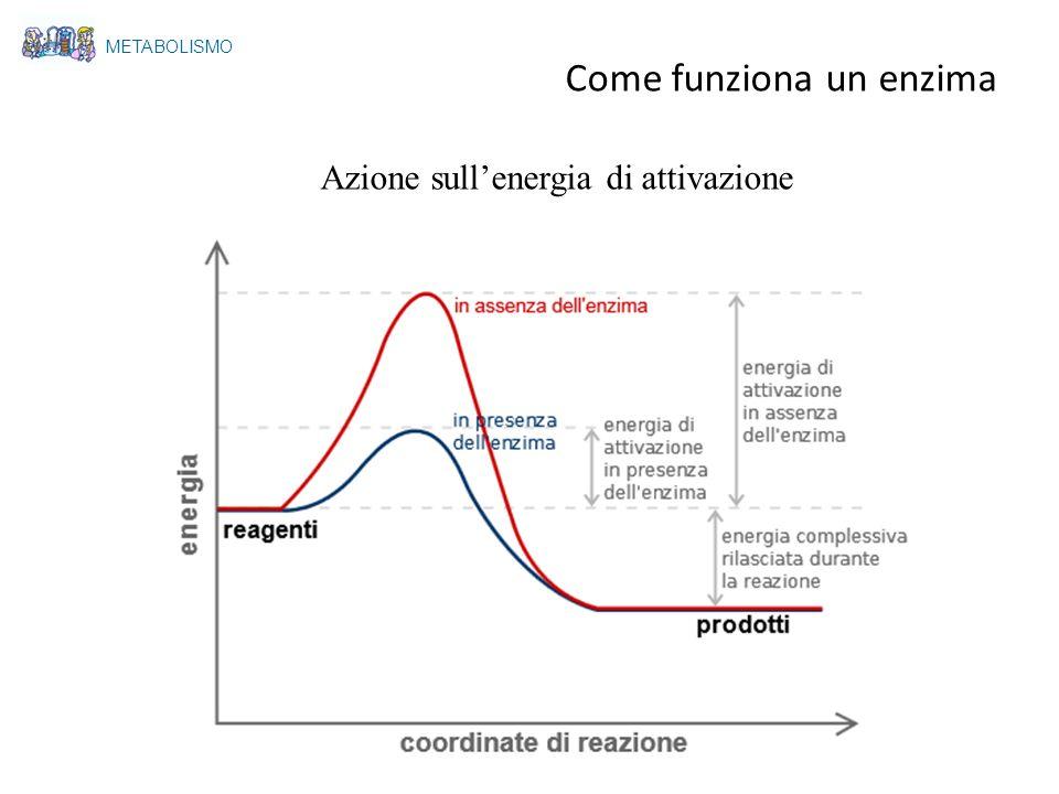 Azione sullenergia di attivazione METABOLISMO Come funziona un enzima