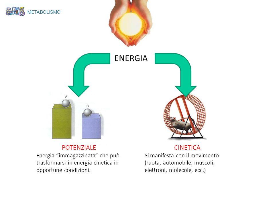 METABOLISMO ENERGIA POTENZIALE Energia immagazzinata che può trasformarsi in energia cinetica in opportune condizioni. CINETICA Si manifesta con il mo