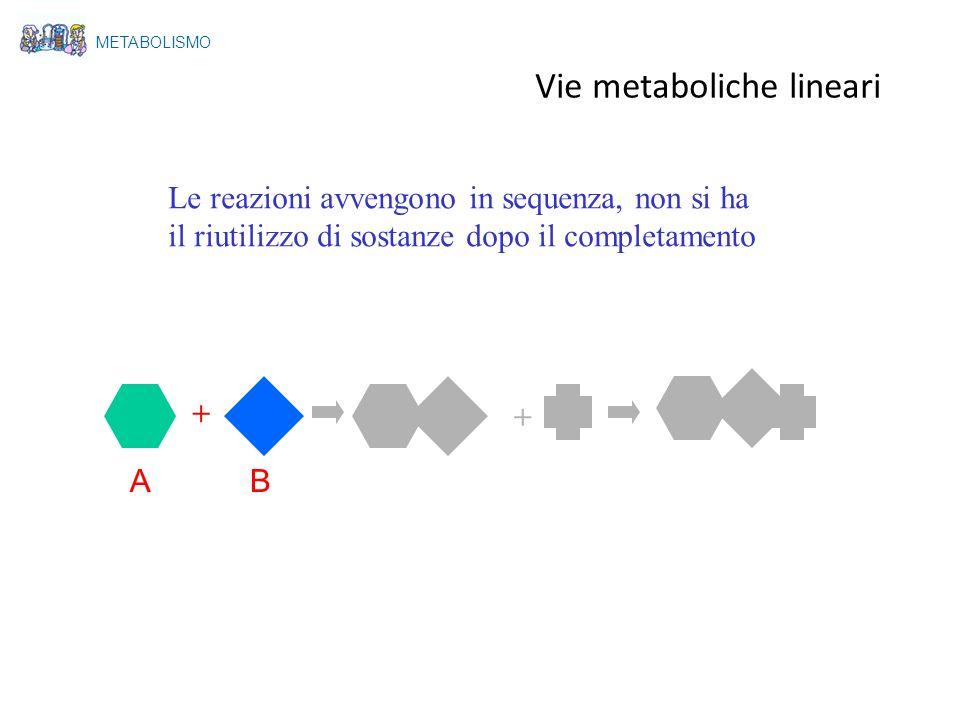 + + AB Vie metaboliche lineari Le reazioni avvengono in sequenza, non si ha il riutilizzo di sostanze dopo il completamento METABOLISMO