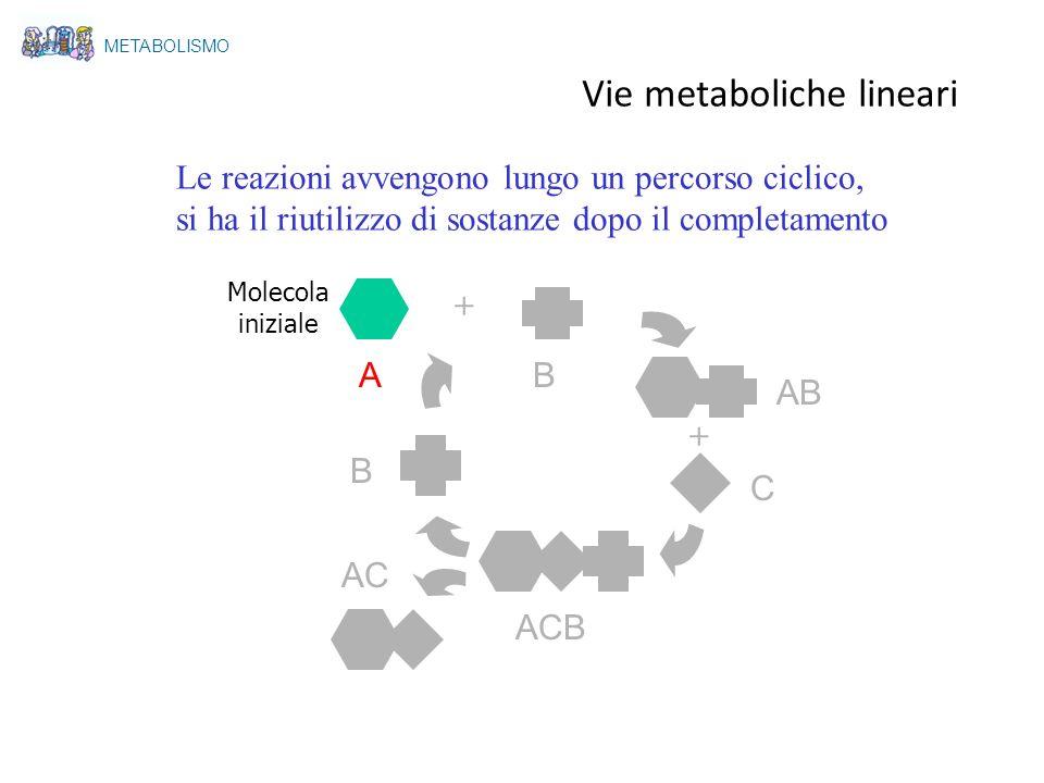 A Le reazioni avvengono lungo un percorso ciclico, si ha il riutilizzo di sostanze dopo il completamento + + B AB C ACB AC B Molecola iniziale METABOL
