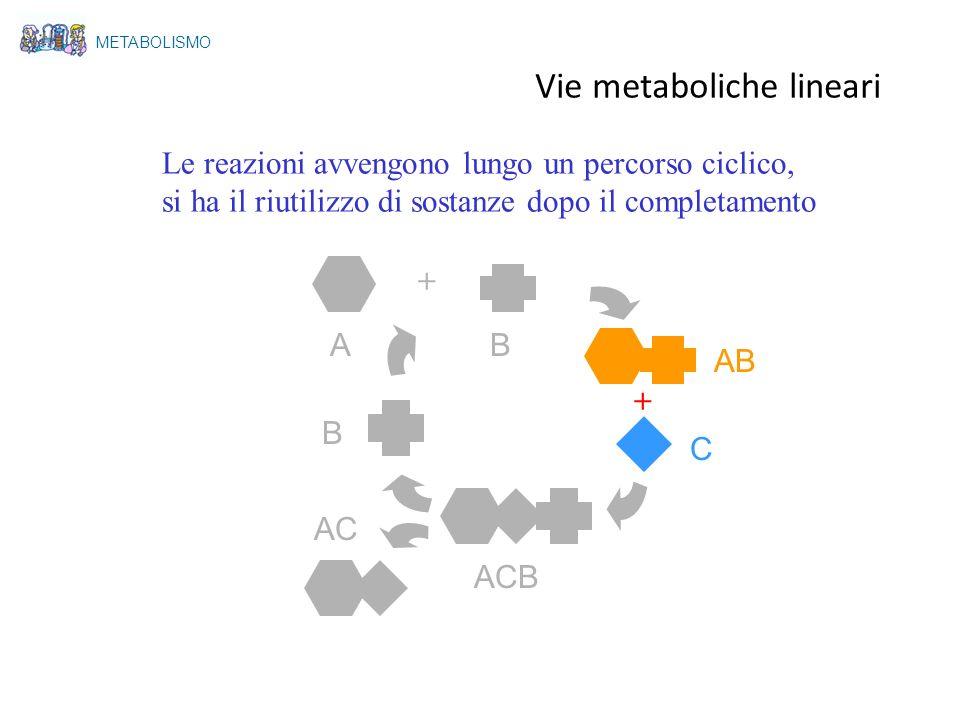 A Le reazioni avvengono lungo un percorso ciclico, si ha il riutilizzo di sostanze dopo il completamento + + B AB C ACB AC B METABOLISMO Vie metabolic