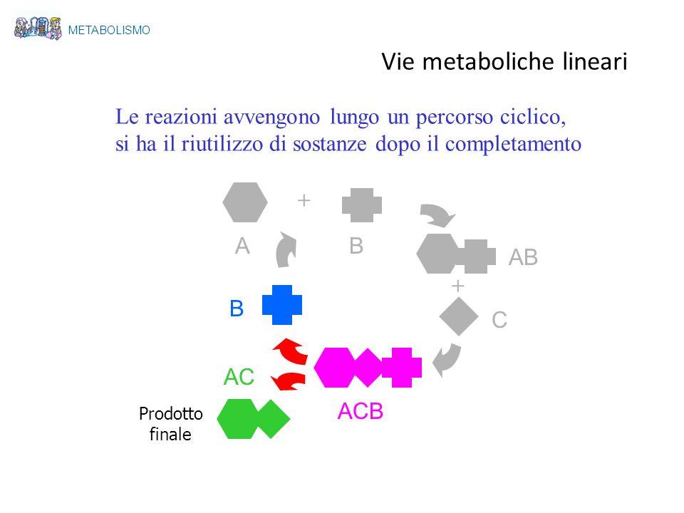 A Le reazioni avvengono lungo un percorso ciclico, si ha il riutilizzo di sostanze dopo il completamento + + B AB C ACB AC B Prodotto finale METABOLIS