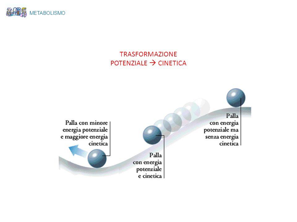 A Le reazioni avvengono lungo un percorso ciclico, si ha il riutilizzo di sostanze dopo il completamento + + B AB C ACB AC B Molecola iniziale METABOLISMO Vie metaboliche lineari