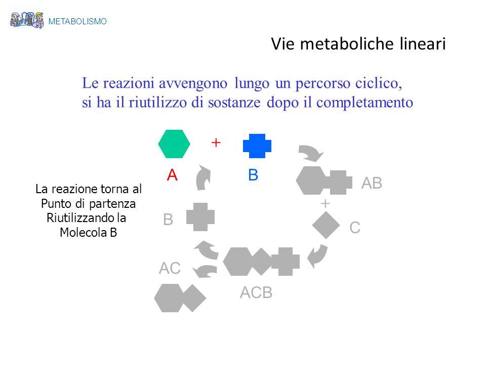 A Le reazioni avvengono lungo un percorso ciclico, si ha il riutilizzo di sostanze dopo il completamento + + B AB C ACB AC B La reazione torna al Punt