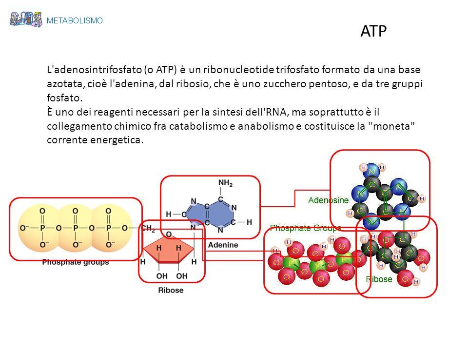 METABOLISMO ATP ribosio P P P adenina ATPATP ADPADP PROCESSI ENDOERGONICI (ANABOLICI) PROCESSI ESOERGONICI (CATABOLICI) ENERGIA I gruppi fosfato dellATP sono legati da un legame doppio covalente ad alto contenuto di energia.