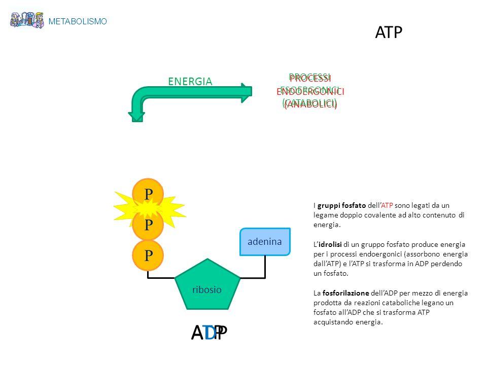 METABOLISMO ATP ribosio P P P adenina ATPATP ADPADP PROCESSI ENDOERGONICI (ANABOLICI) PROCESSI ESOERGONICI (CATABOLICI) ENERGIA I gruppi fosfato dellA