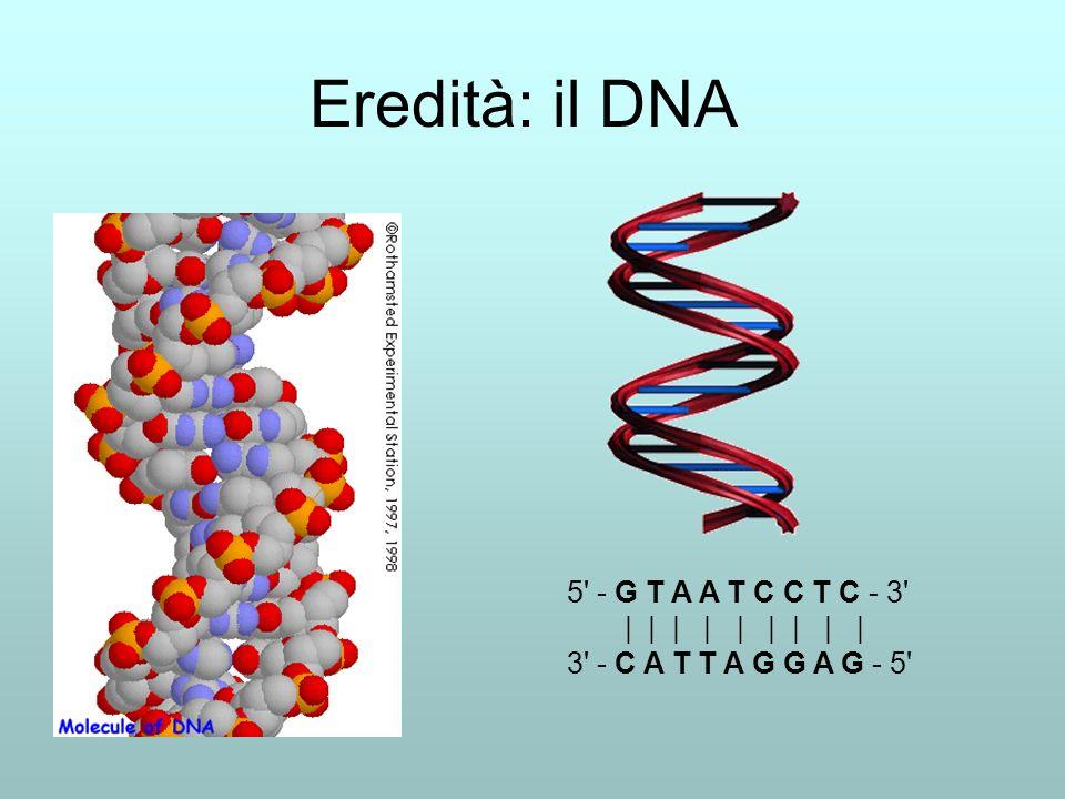 Eredità: il DNA 5' - G T A A T C C T C - 3' | | | | | | | | | 3' - C A T T A G G A G - 5'