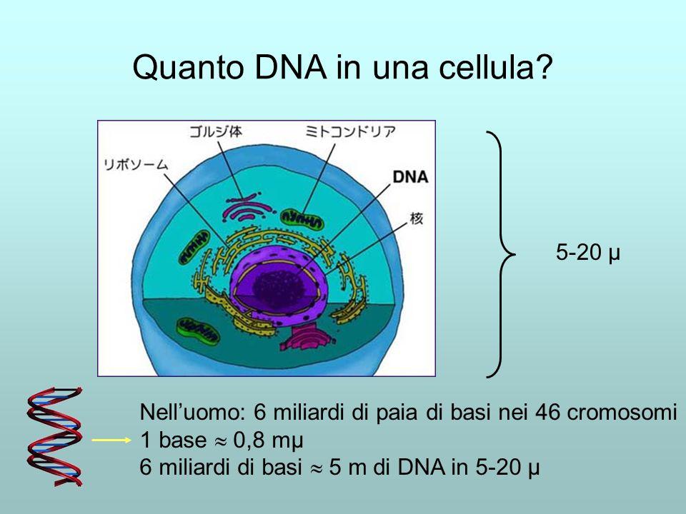 Quanto DNA in una cellula? Nelluomo: 6 miliardi di paia di basi nei 46 cromosomi 1 base 0,8 mμ 6 miliardi di basi 5 m di DNA in 5-20 μ 5-20 μ