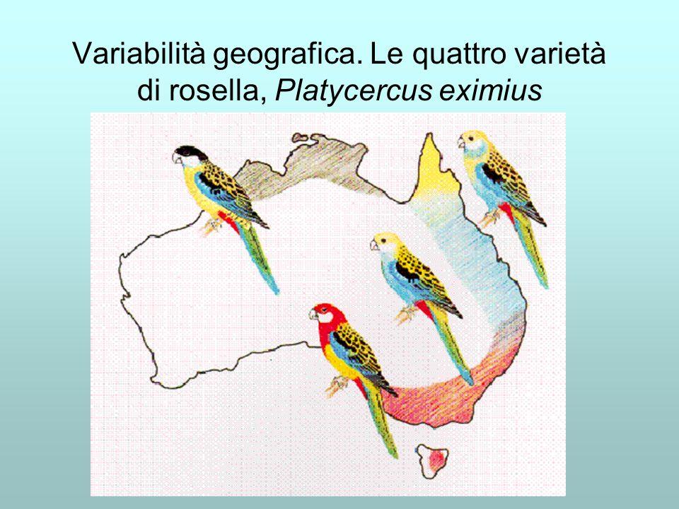 Variabilità geografica. Le quattro varietà di rosella, Platycercus eximius