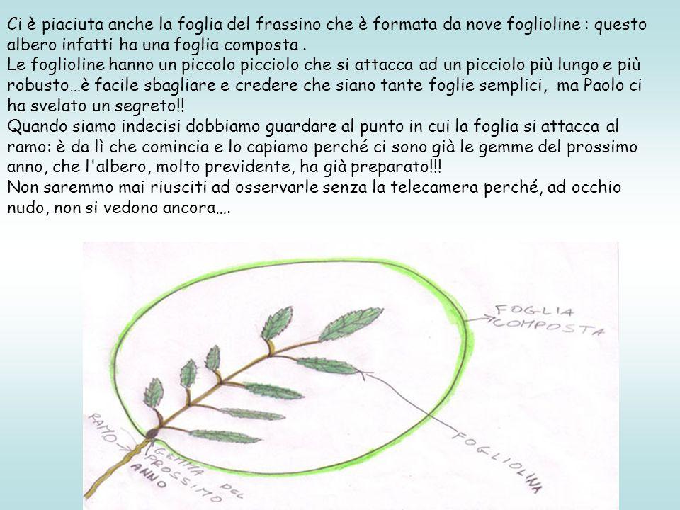 Ci è piaciuta anche la foglia del frassino che è formata da nove foglioline : questo albero infatti ha una foglia composta. Le foglioline hanno un pic