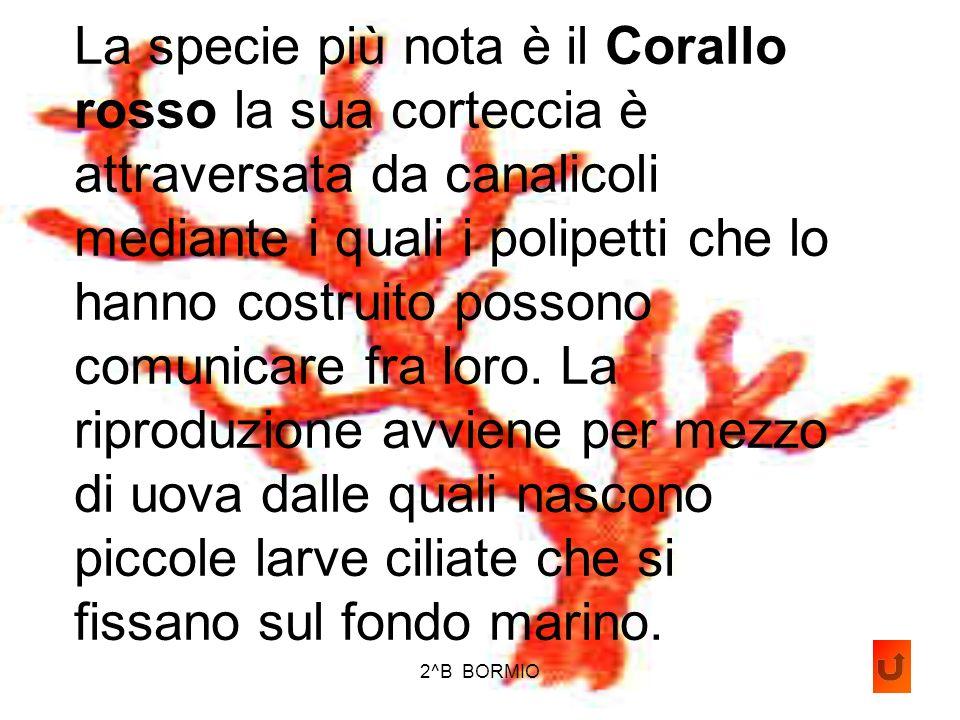 2^B BORMIO Coralli: sono comuni nel Mediterraneo. Hanno laspetto di una pianta con i rami in fiore per questo gli antichi naturalisti li ritennero del