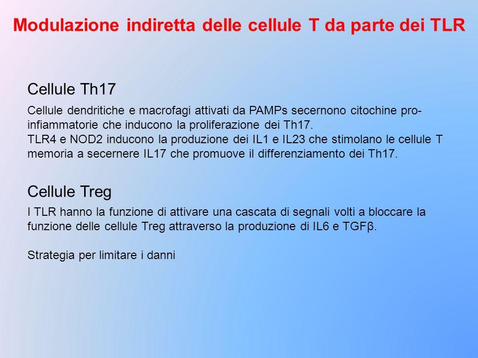 Modulazione indiretta delle cellule T da parte dei TLR Cellule dendritiche e macrofagi attivati da PAMPs secernono citochine pro- infiammatorie che in