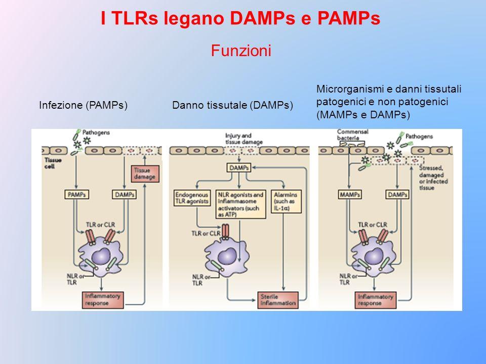 Funzioni I TLRs legano DAMPs e PAMPs Infezione (PAMPs)Danno tissutale (DAMPs) Microrganismi e danni tissutali patogenici e non patogenici (MAMPs e DAM