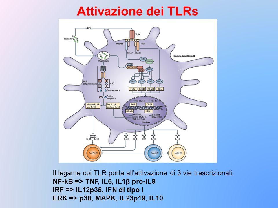 Il legame coi TLR porta allattivazione di 3 vie trascrizionali: NF-kB => TNF, IL6, IL1β pro-IL8 IRF => IL12p35, IFN di tipo I ERK => p38, MAPK, IL23p1