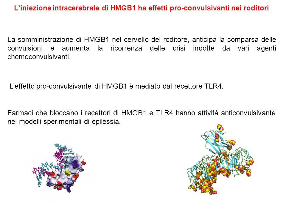 La somministrazione di HMGB1 nel cervello del roditore, anticipa la comparsa delle convulsioni e aumenta la ricorrenza delle crisi indotte da vari age