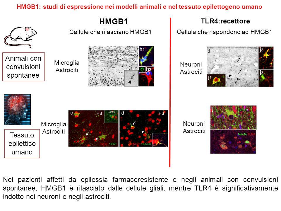 HMGB1: studi di espressione nei modelli animali e nel tessuto epilettogeno umano Nei pazienti affetti da epilessia farmacoresistente e negli animali c