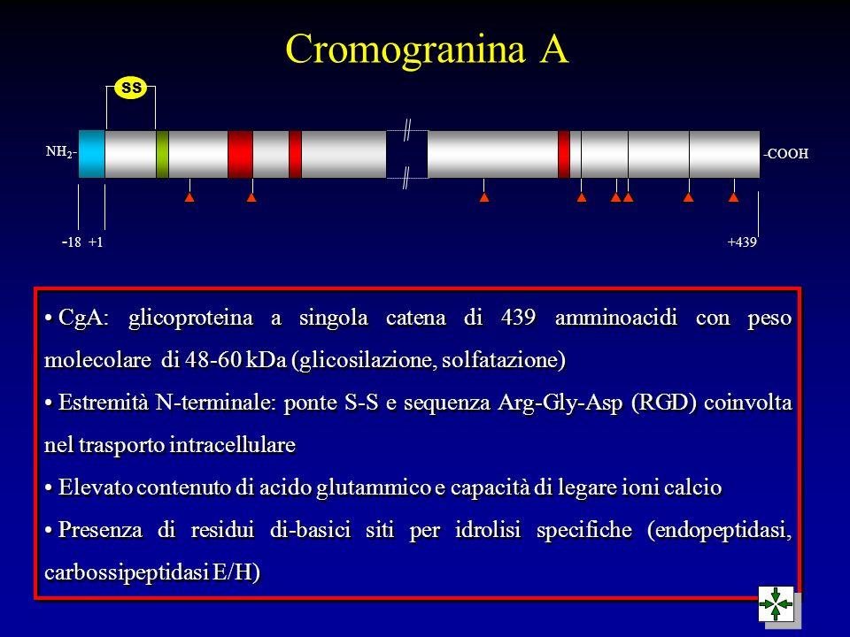 NH 2 - -COOH - 18 +1 +439 SS CgA: glicoproteina a singola catena di 439 amminoacidi con peso molecolare di 48-60 kDa (glicosilazione, solfatazione) Es