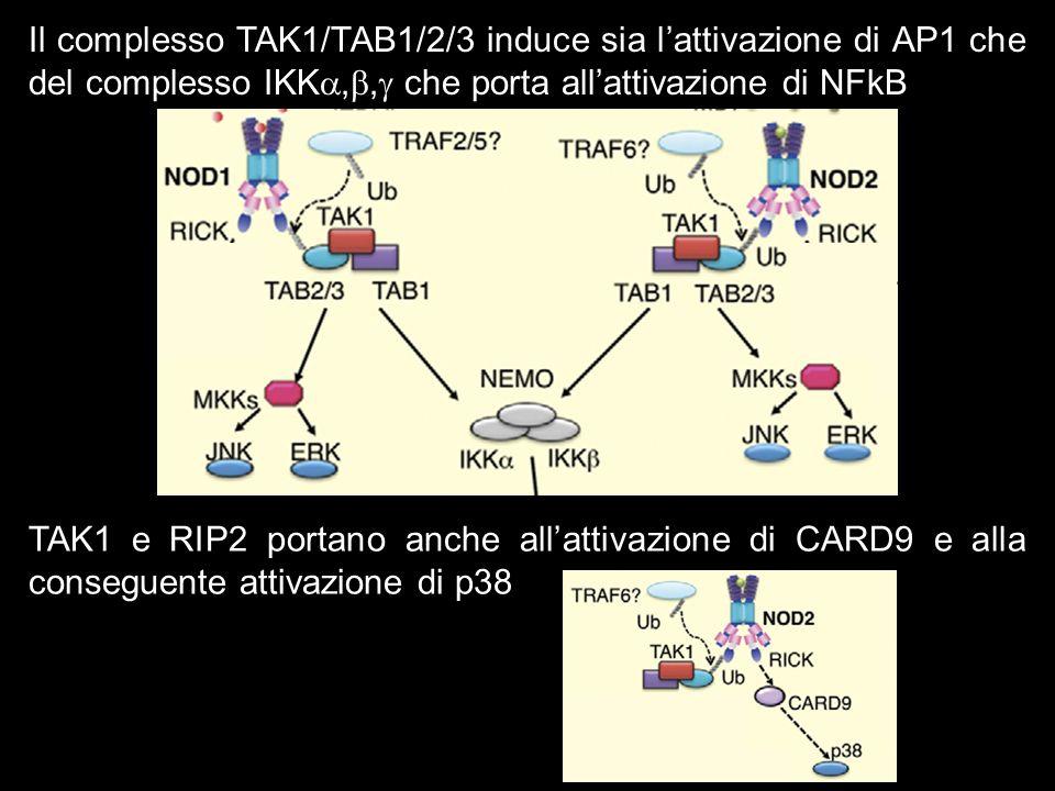Il complesso TAK1/TAB1/2/3 induce sia lattivazione di AP1 che del complesso IKK,, che porta allattivazione di NFkB TAK1 e RIP2 portano anche allattiva