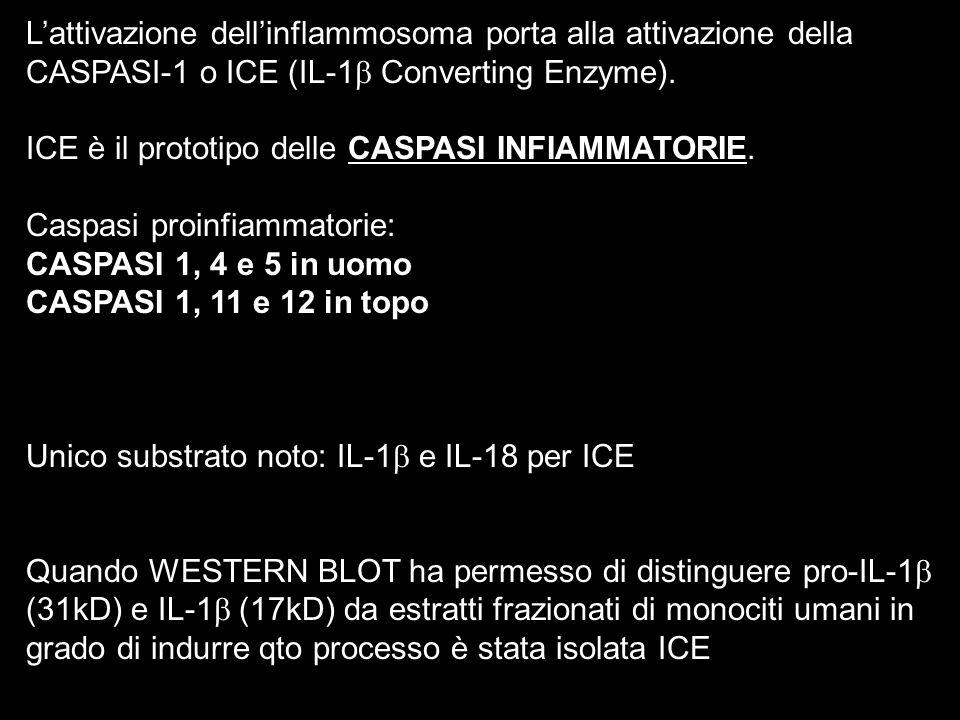 Lattivazione dellinflammosoma porta alla attivazione della CASPASI-1 o ICE (IL-1 Converting Enzyme). ICE è il prototipo delle CASPASI INFIAMMATORIE. C