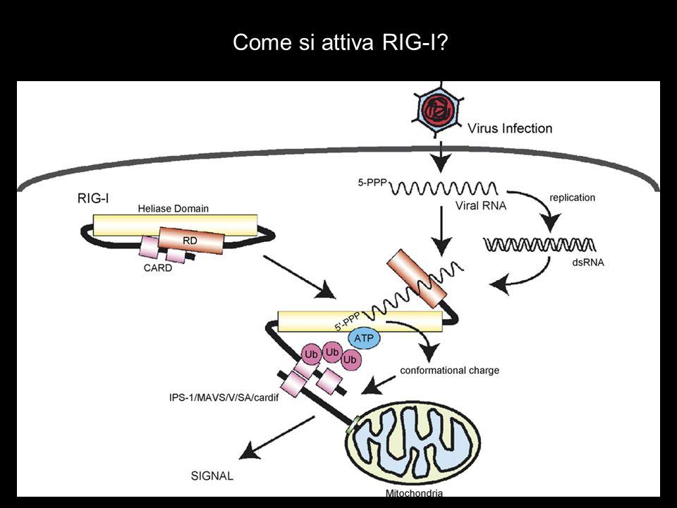 Come si attiva RIG-I?