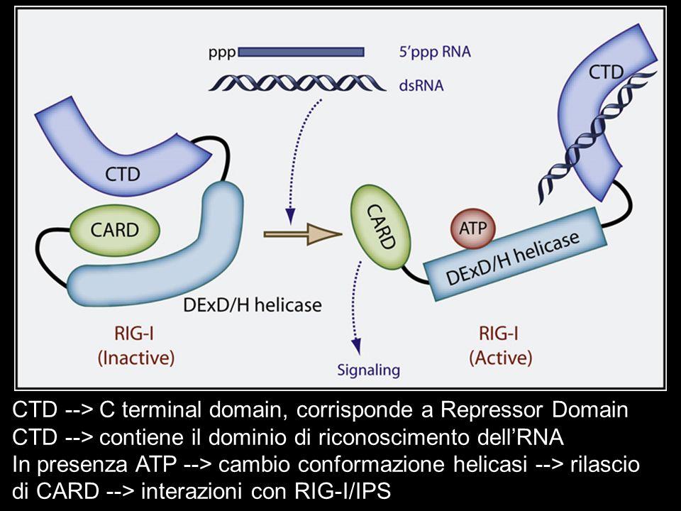 CTD --> C terminal domain, corrisponde a Repressor Domain CTD --> contiene il dominio di riconoscimento dellRNA In presenza ATP --> cambio conformazio
