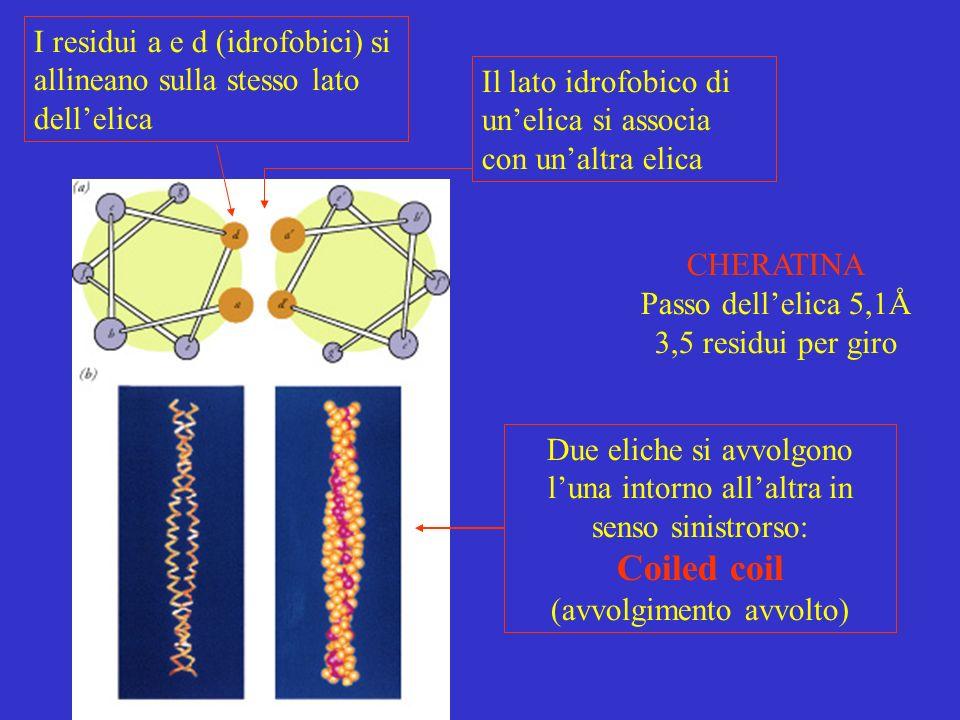CHERATINA Passo dellelica 5,1Å 3,5 residui per giro I residui a e d (idrofobici) si allineano sulla stesso lato dellelica Il lato idrofobico di unelic