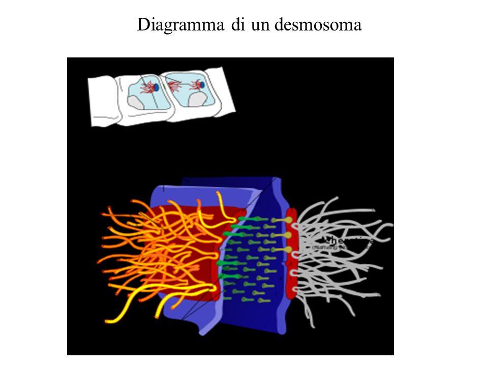 Diagramma di un desmosoma