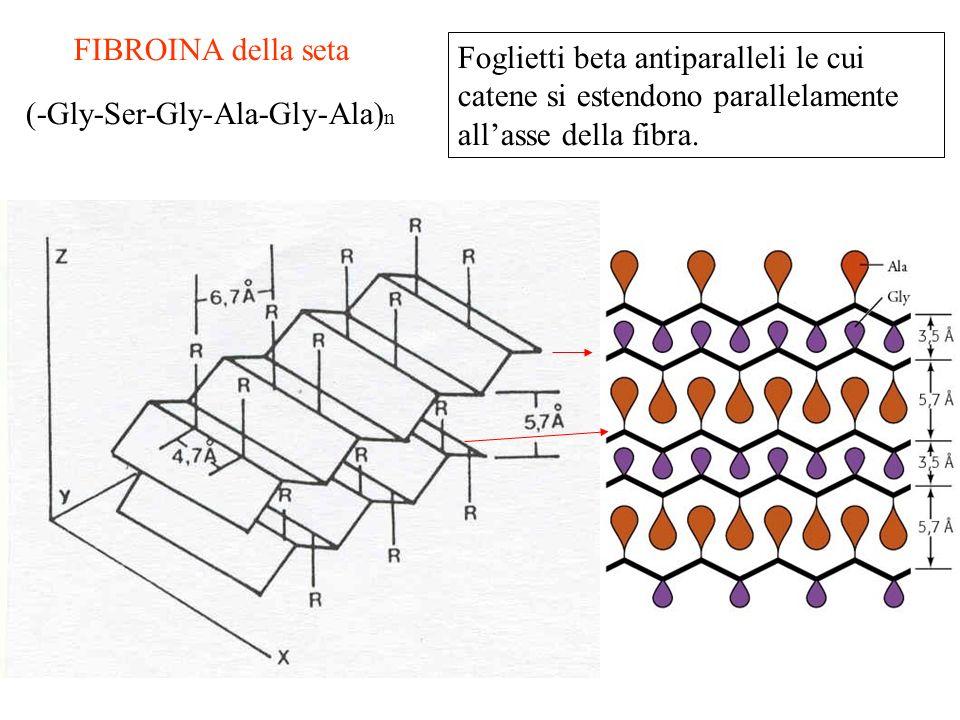 FIBROINA della seta (-Gly-Ser-Gly-Ala-Gly-Ala) n Foglietti beta antiparalleli le cui catene si estendono parallelamente allasse della fibra.