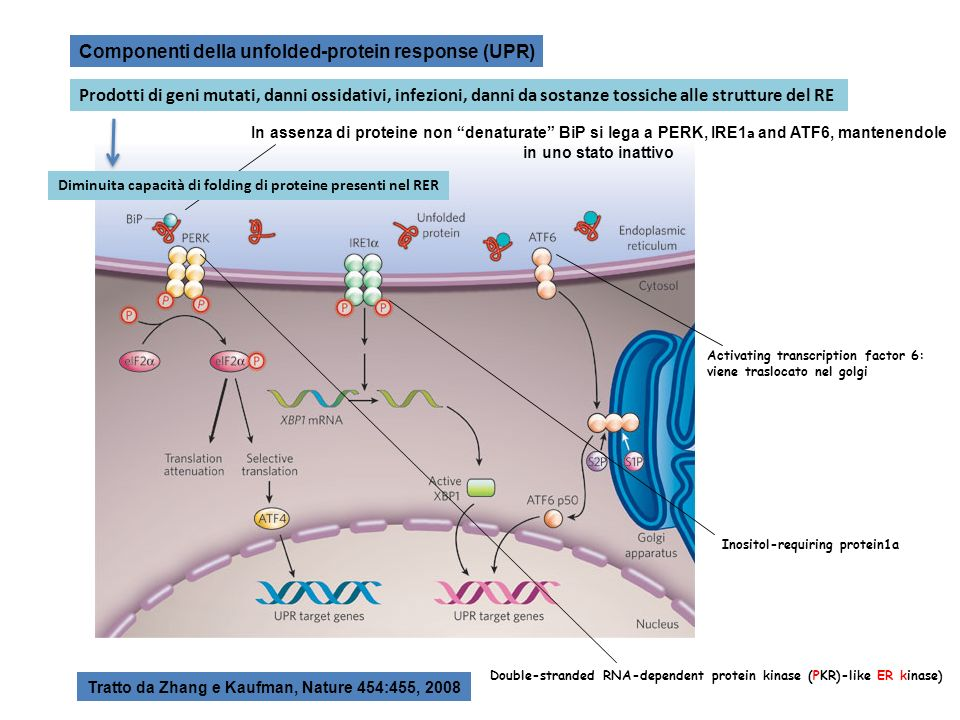 Componenti della unfolded-protein response (UPR) In assenza di proteine non denaturate BiP si lega a PERK, IRE1 a and ATF6, mantenendole in uno stato