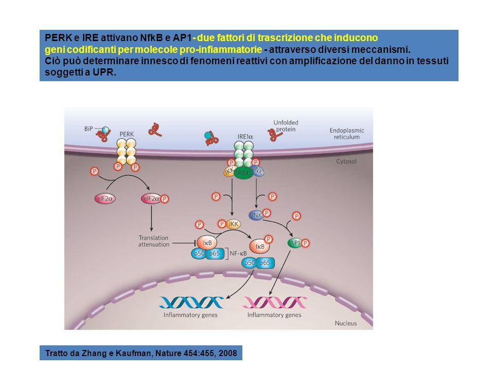 PERK e IRE attivano NfkB e AP1- due fattori di trascrizione che inducono geni codificanti per molecole pro-infiammatorie - attraverso diversi meccanis