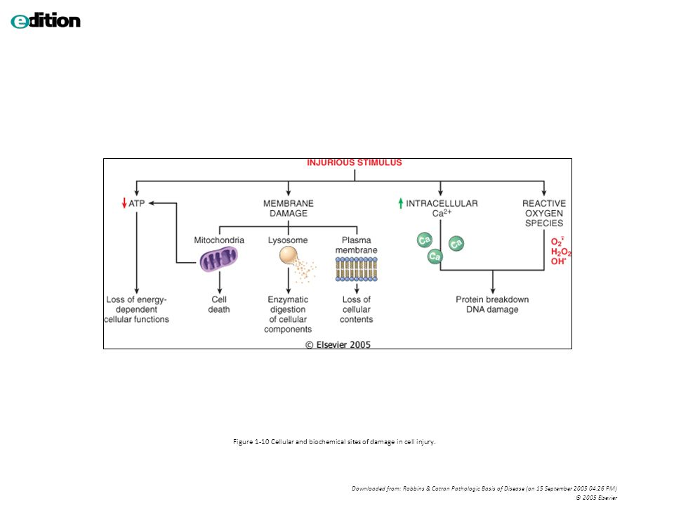 Figure 1-10 Cellular and biochemical sites of damage in cell injury. Downloaded from: Robbins & Cotran Pathologic Basis of Disease (on 15 September 20