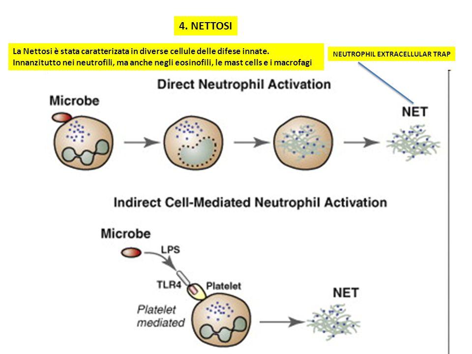 4. NETTOSI NEUTROPHIL EXTRACELLULAR TRAP La Nettosi è stata caratterizata in diverse cellule delle difese innate. Innanzitutto nei neutrofili, ma anch