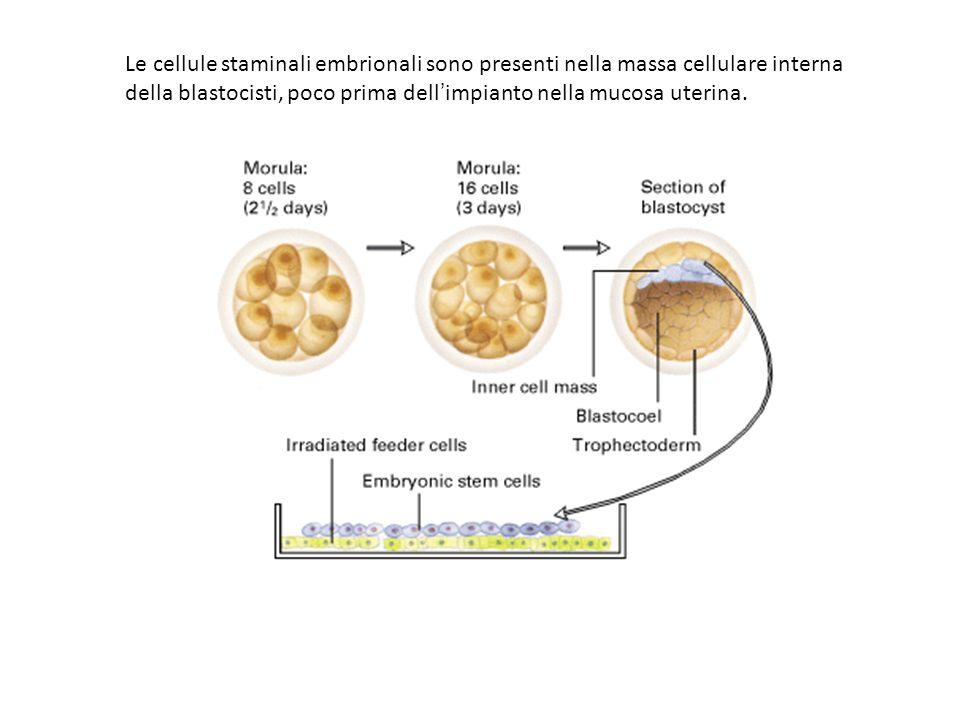 Le cellule staminali embrionali sono presenti nella massa cellulare interna della blastocisti, poco prima dellimpianto nella mucosa uterina.