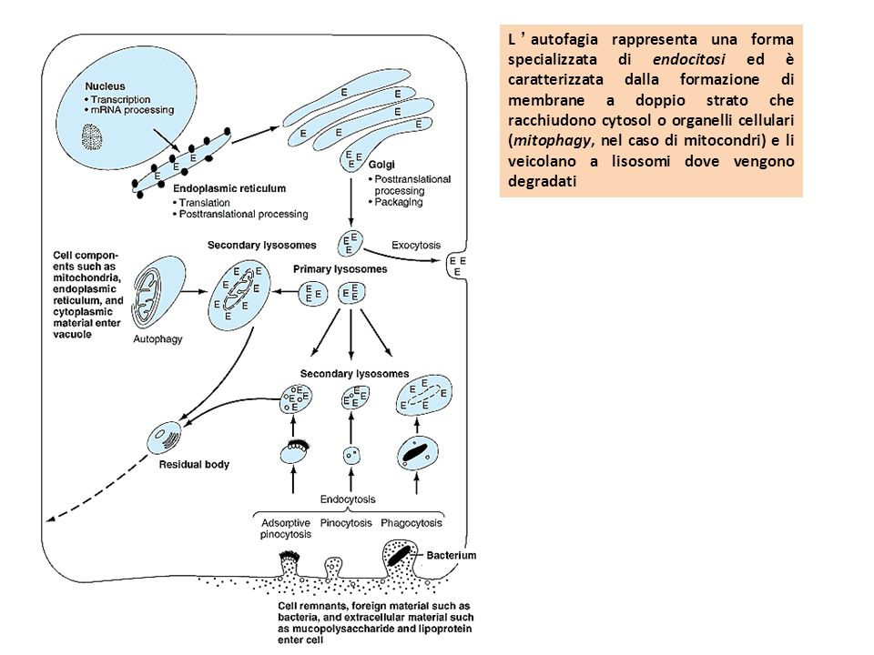 Lautofagia è caratterizzata dalla formazione di membrane a doppio strato che racchiudono cytosol o organelli cellulari (mitophagy, nel caso di mitocondri) e li veicolano a lisosomi dove vengono degradati