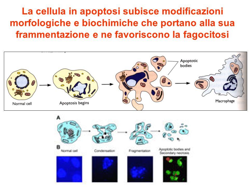 La cellula in apoptosi subisce modificazioni morfologiche e biochimiche che portano alla sua frammentazione e ne favoriscono la fagocitosi