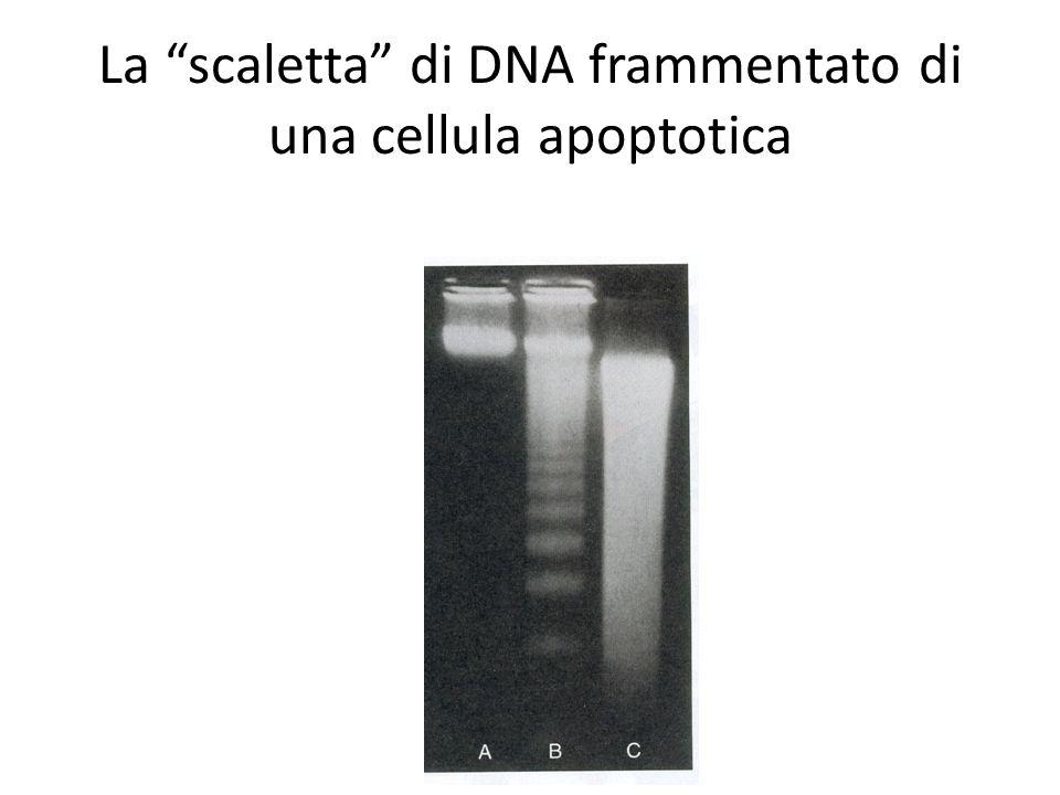 La scaletta di DNA frammentato di una cellula apoptotica