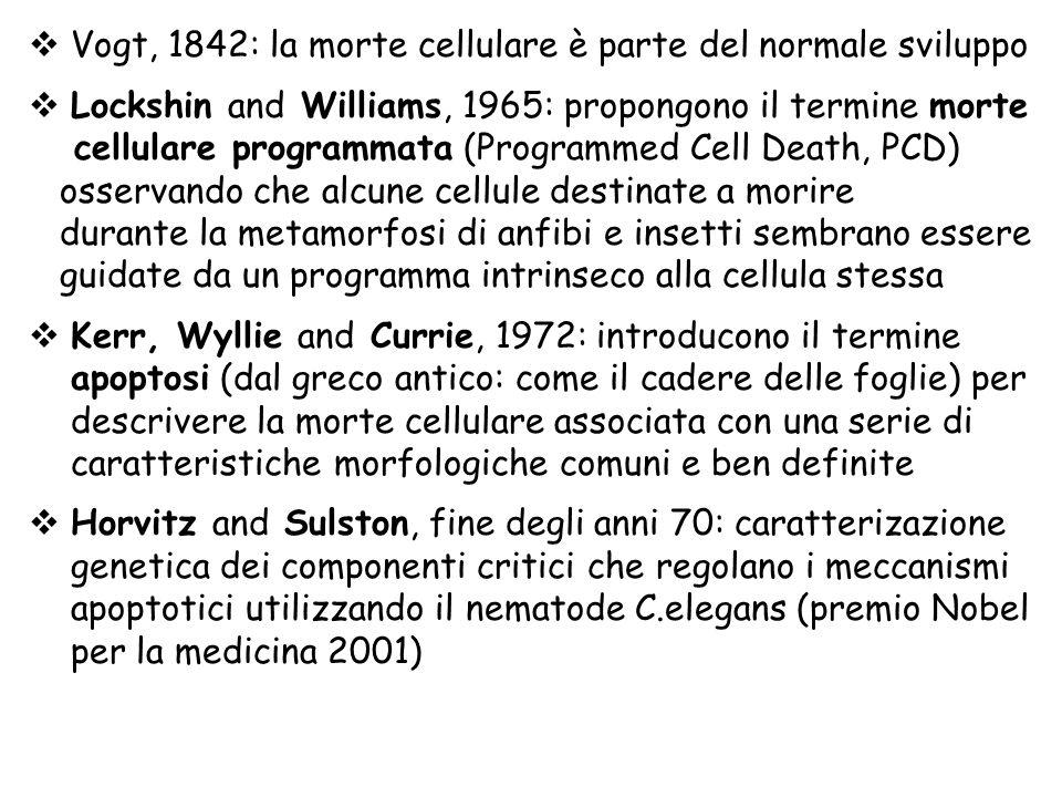 Vogt, 1842: la morte cellulare è parte del normale sviluppo Lockshin and Williams, 1965: propongono il termine morte cellulare programmata (Programmed