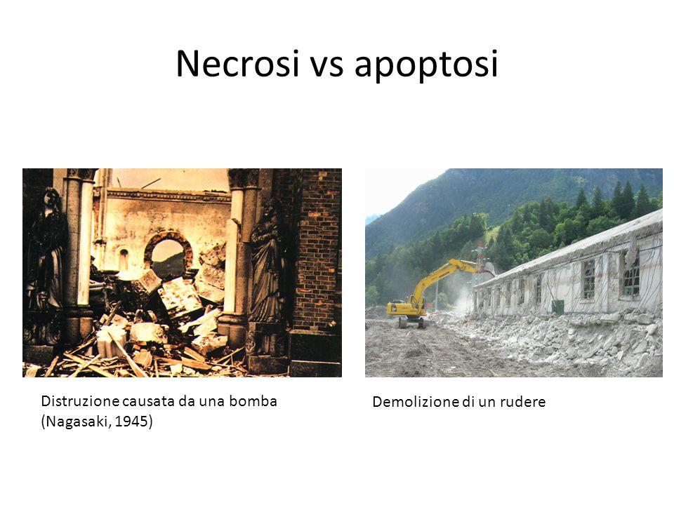 Distruzione causata da una bomba (Nagasaki, 1945) Necrosi vs apoptosi Demolizione di un rudere
