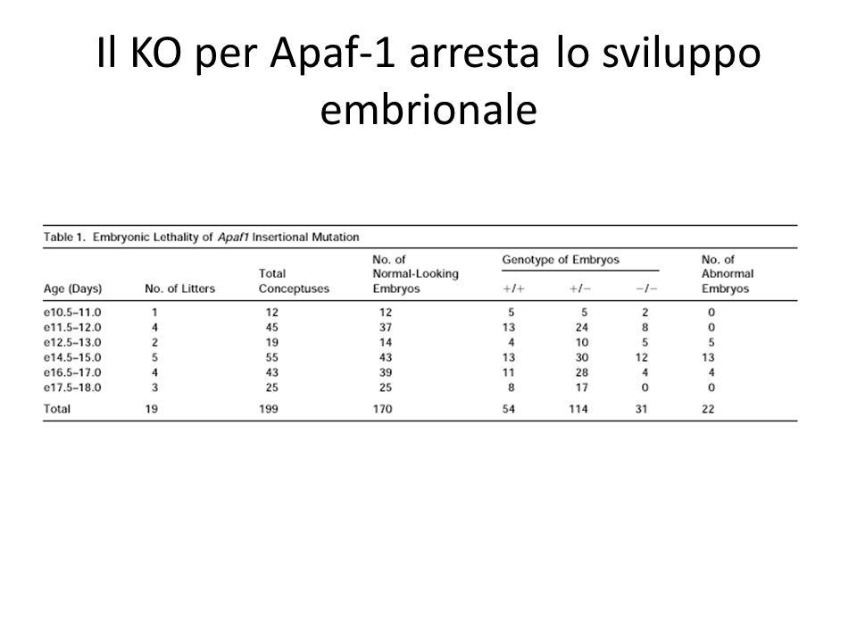 Il KO per Apaf-1 arresta lo sviluppo embrionale