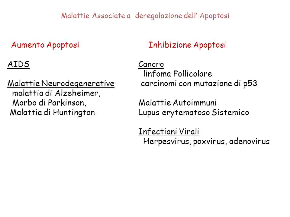 Malattie Associate a deregolazione dell Apoptosi Aumento Apoptosi AIDS Malattie Neurodegenerative malattia di Alzeheimer, Morbo di Parkinson, Malattia