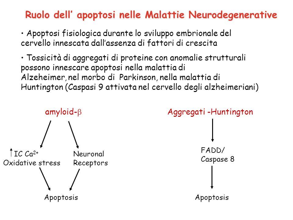 Ruolo dell apoptosi nelle Malattie Neurodegenerative Apoptosi fisiologica durante lo sviluppo embrionale del cervello innescata dallassenza di fattori