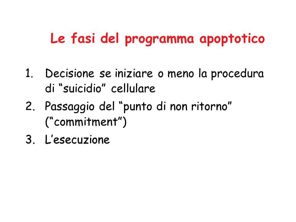 Le fasi del programma apoptotico 1.Decisione se iniziare o meno la procedura di suicidio cellulare 2.Passaggio del punto di non ritorno (commitment) 3