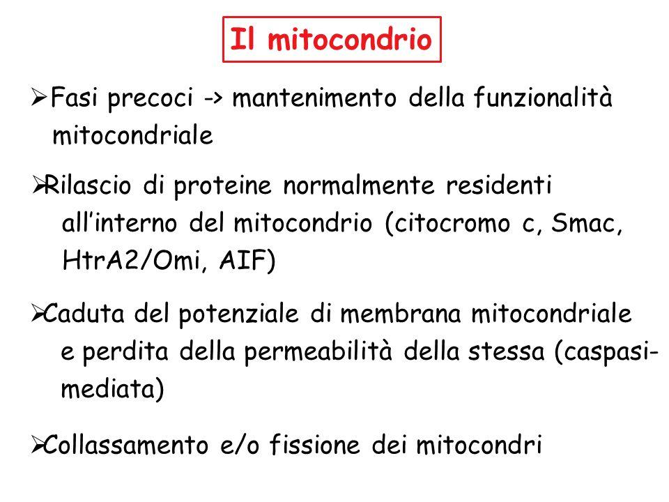 Il mitocondrio Fasi precoci -> mantenimento della funzionalità mitocondriale Rilascio di proteine normalmente residenti allinterno del mitocondrio (ci