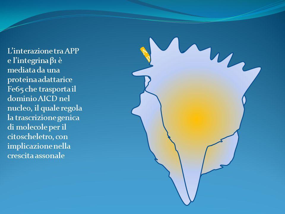 AICDAICD APP APP Fe 65 Linterazione tra APP e lintegrina β1 è mediata da una proteina adattarice Fe65 che trasporta il dominio AICD nel nucleo, il qua