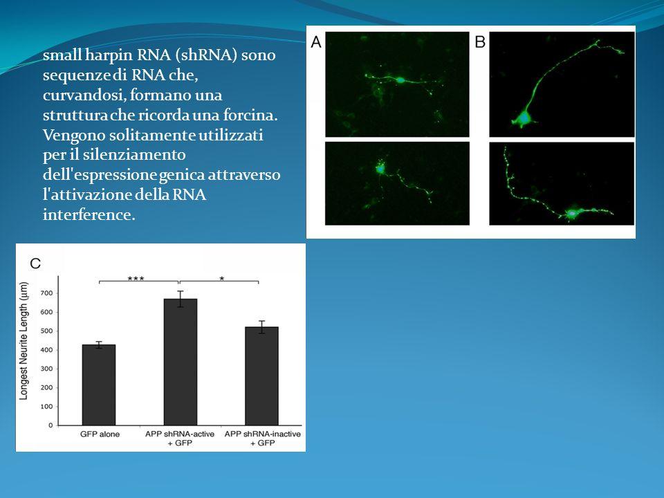 small harpin RNA (shRNA) sono sequenze di RNA che, curvandosi, formano una struttura che ricorda una forcina. Vengono solitamente utilizzati per il si